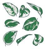 """Набор собрания вектора чертежи лист завода утехи n экзотического Pothos Pinnatum Epipremnum """" иллюстрация вектора"""