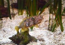 Наблюданное зеленым цветом колючее заплывание Boxfish вдоль океанского дна Стоковое фото RF