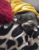 Наблюданный зеленым цветом мужской кот Tabby стоковые фото