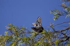 Наблюданный красным цветом голубь черепахи Стоковые Изображения