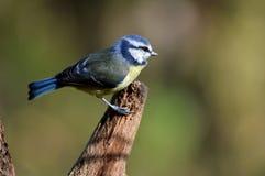 Наблюдательная голубая синица Стоковые Фотографии RF