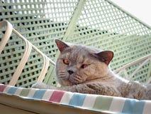 Наблюдательный кот родословной стоковая фотография rf