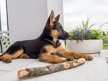 Наблюдательный щенок немецкой овчарки Стоковая Фотография