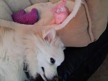 Наблюдатель собаки Стоковые Фото