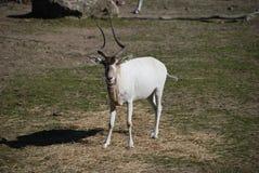Наблюдать антилопы аддакса Стоковое фото RF