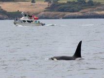 Наблюдать кита косатки Стоковые Изображения