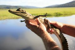 Наблюдать молодым spectacled caiman в заповеднике Kaw-Roura национальном, Французские Гвианы Стоковое Фото