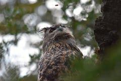 Наблюдать оси сыча орла Стоковые Фото