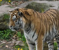 Наблюдать тигра Стоковое Изображение