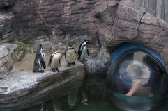 Наблюдая пингвины Гумбольдта Стоковые Изображения RF