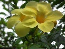 навсегда совместно Красивый желтый образ жизни цветка ангела Стоковое фото RF