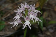 Нагая орхидея человека стоковые фотографии rf