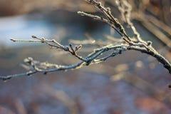 Нагая хворостина предусматриванная с заморозком Стоковые Изображения