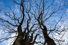 Нагие ветви дерева против голубого неба Стоковые Изображения RF