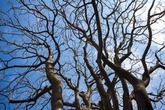 Нагие ветви дерева против голубого неба Стоковое Изображение