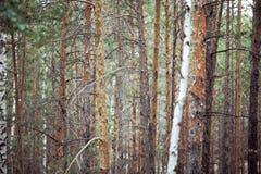 Нагие стволы дерева в coniferous лесе Стоковая Фотография RF