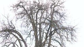 Нагое дерево в зиме сток-видео