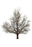 Нагое дерево на белизне Стоковое Изображение RF