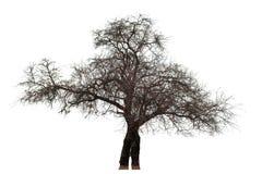 Нагое дерево на белизне Стоковые Изображения