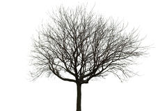 Нагое дерево на белизне Стоковое Фото