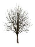 Нагое дерево на белизне Стоковая Фотография RF