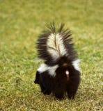 наденьте здесь t striped skunk те к вам Стоковое Фото