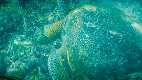 Надземная подводная съемка питаясь зеленой морской черепахи в galapagos стоковые фотографии rf
