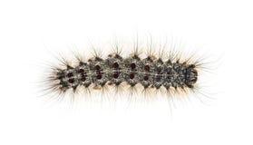 Надземный взгляд гусеницы Lymantria dispar стоковая фотография