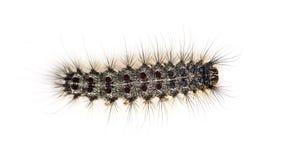 Надземный взгляд гусеницы Lymantria dispar стоковые изображения rf