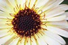 Надземный взгляд макроса officinalis Calendula цветет стоковое фото