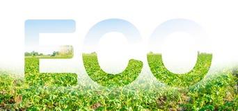 Надпись ECO на предпосылке поля плантации картошки Агробизнес и агро-индустрия ( стоковое фото