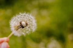 Надутый одуванчик и женская рука держа одуванчик Цветок одуванчика над яркой предпосылкой зеленой травы Мальчик держа белизну Стоковая Фотография RF