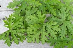 НАДУШЕННЫЕ листья ГЕРАНИУМОВ Стоковое фото RF