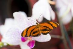 Надфюзеляжный взгляд Banded оранжевое Heliconian отдыхая на бледном цветке орхидеи стоковая фотография rf