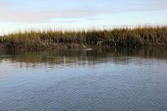 Надфюзеляжный киль дельфина в воде с backround болота Стоковое фото RF