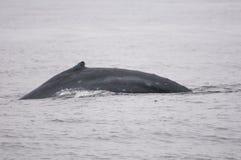 Надфюзеляжный киль кита Humpback Стоковые Изображения RF