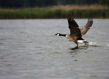над бежать распространенные крыла воды Стоковое Изображение