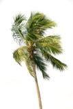над белизной пальмы Стоковое фото RF