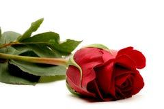 над белизной розы красного цвета Стоковое Изображение