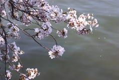 над водой вишни цветения стоковые фото