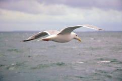 над чайкой моря стоковая фотография
