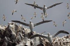 над gannets летания Стоковая Фотография RF