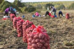 Наемные сельскохозяйственные рабочие жать картошки стоковое фото