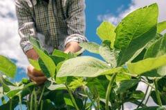 Наемный сельскохозяйственный рабочий контролирует развитие заводов сои стоковое изображение