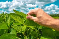 Наемный сельскохозяйственный рабочий контролирует развитие заводов сои стоковая фотография rf