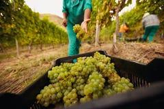 Наемный сельскохозяйственный рабочий жать виноградину в винограднике Стоковое Изображение