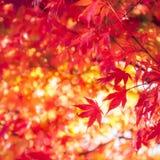 Назад освещенные красные кленовые листы на dappled предпосылке стоковые фото