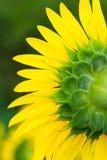 Назад цветеня солнцецвета Стоковая Фотография