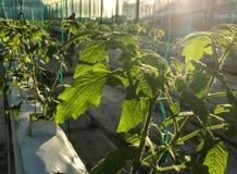 Накаляя заводы tomatoe стоковое фото rf