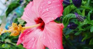 Накаляя розовый тропический цветок стоковое фото rf